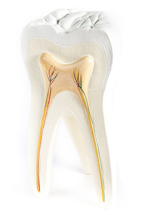 tooth model Select Dental